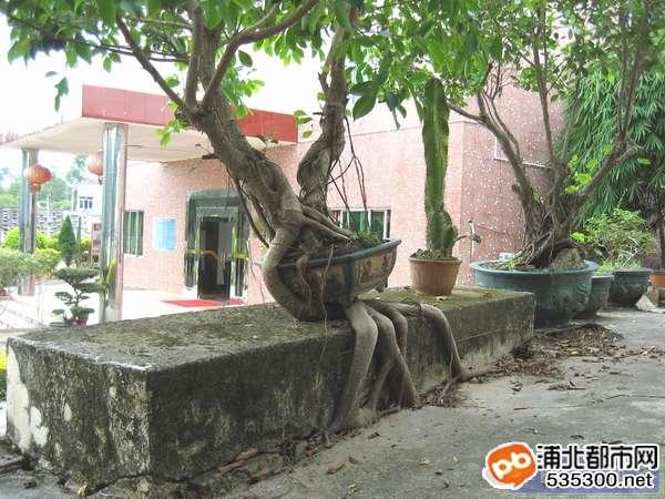 世界无奇不有,发现浦北安石一棵怪树(图)
