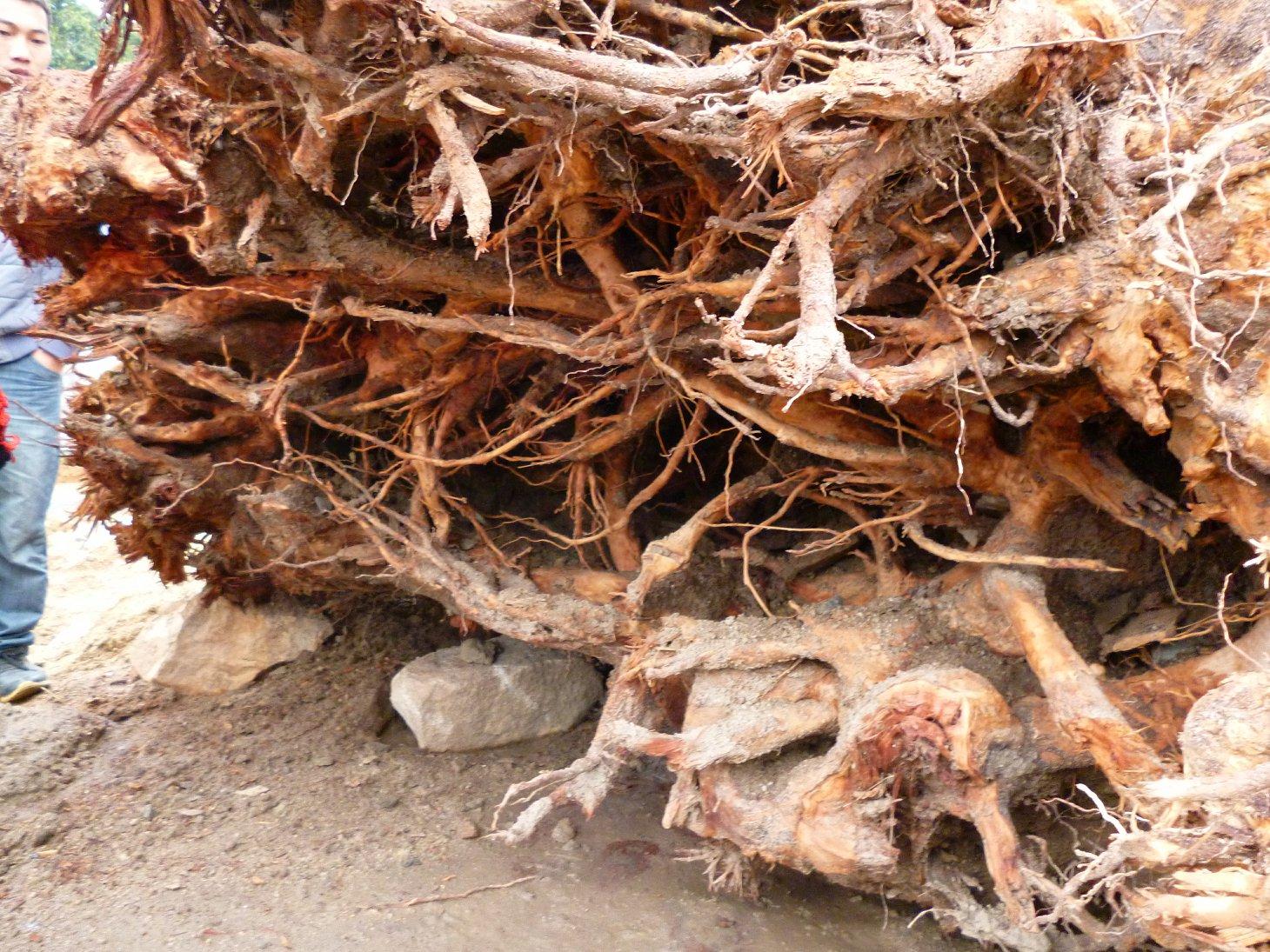 弄回来的木根,大家给个意见,加工成什么好