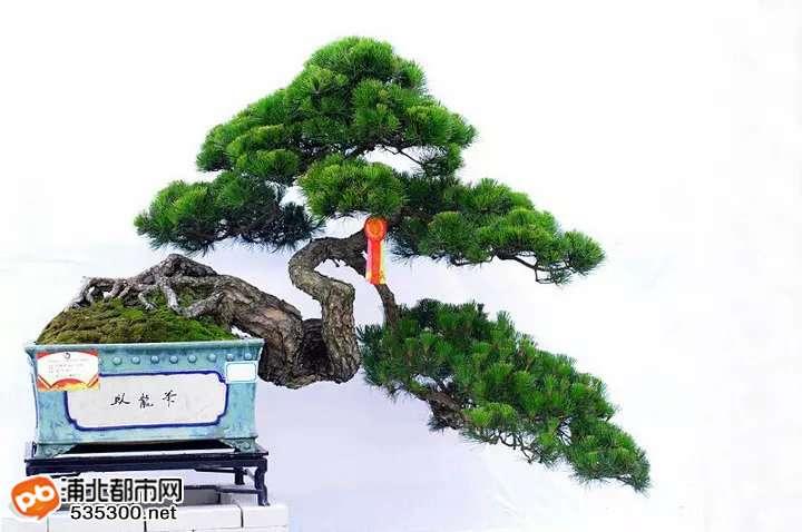 岭南松柏盆景交流平台 群q:53939107