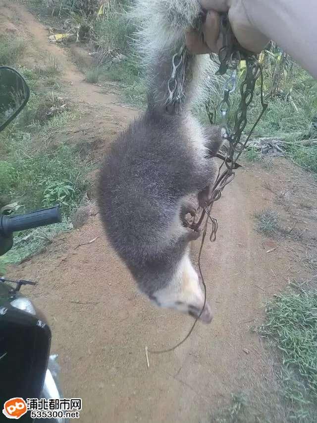 (转)浦北张黄一村民抓到的野生动物