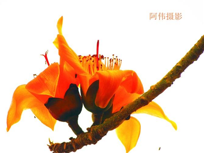 好一朵木棉花-摄影部落-浦北都市网