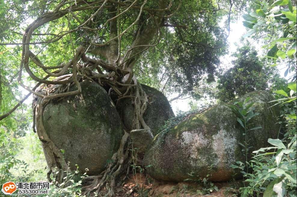 据村中的老人说,石头上的榕树已有60多年树龄了。原先那块石头是光秃秃的,后来可能小鸟在哪吃了榕树的果实,然后把种子随粪便一起带到这颗大石头的缝隙里。接着一棵榕树就开始了漫长而顽强的生长。而随着岁月的足迹,榕树越长越茂盛,根系也伸过了石头直插地表,并且把石头紧紧地抱住。而大概在榕树之后,一株藤蔓也开始生长在榕树一旁。虽然阳光被榕树挡住,营养也被榕树占了大部分,但是它依然不断向上生长,藤根不断再下伸展。而经过多年,蔓藤也找到了自己的空间,找到了自己的源源不断的营养与水分。