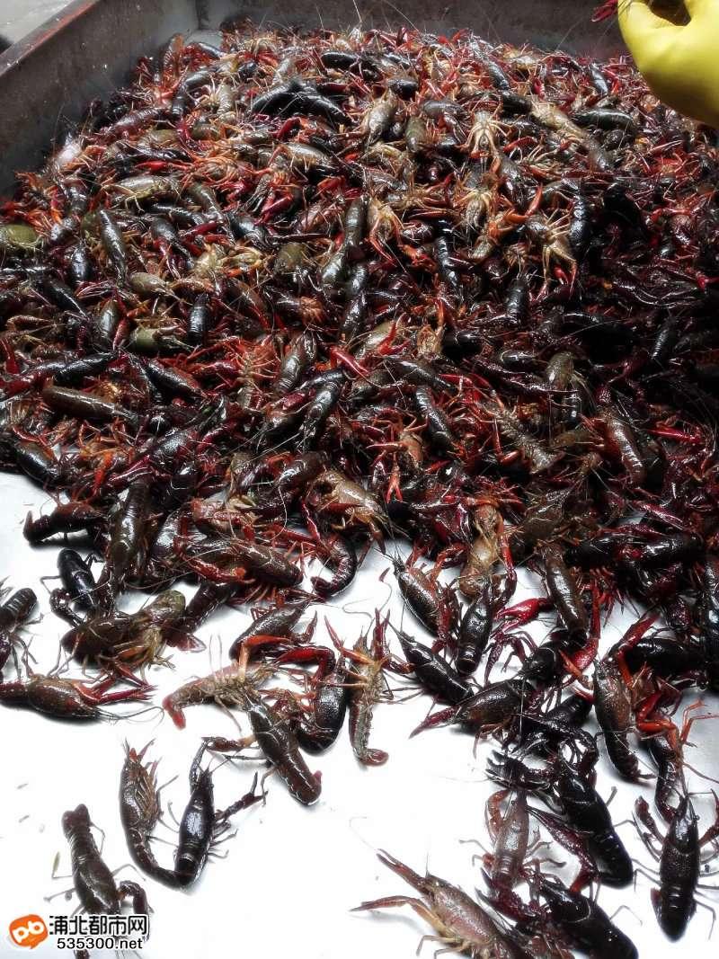 生龙活虎的小龙虾