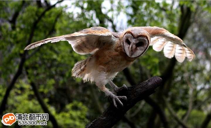 这是猴面鹰,国家二级保护动物
