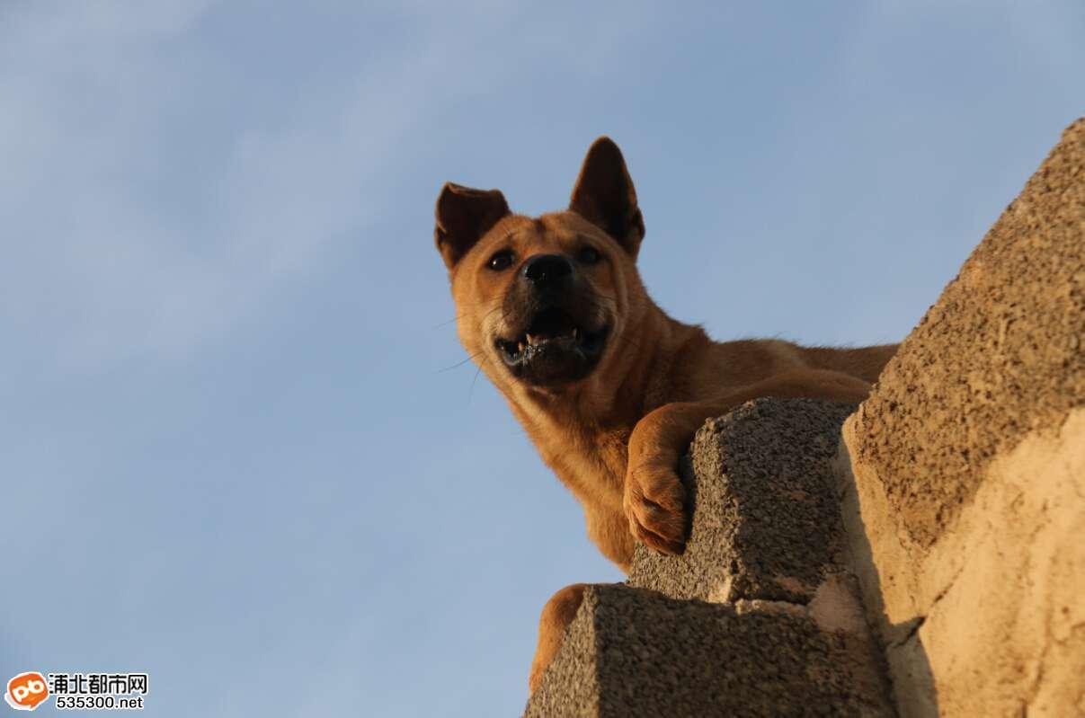 我看到的是狗兴爬墙,见在金浦新区一村