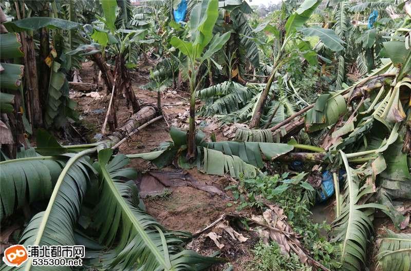 蕉树倒蕉价低于4毛/斤