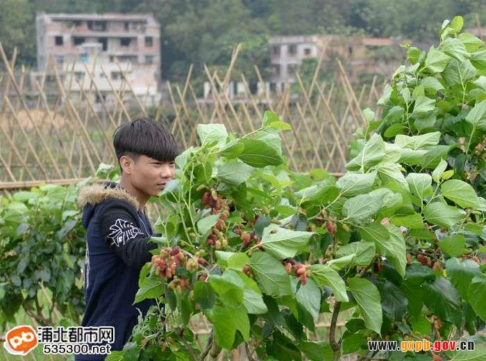 浦北五皇山休闲观光生态园--桑葚即将成熟啦!