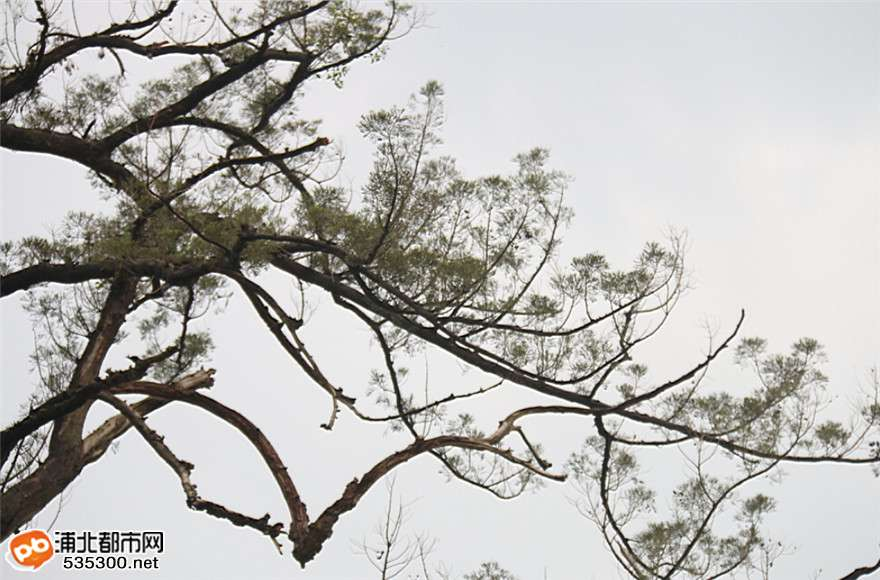 浦北这树种与恐龙同时代,可惜已走到了生命尽头