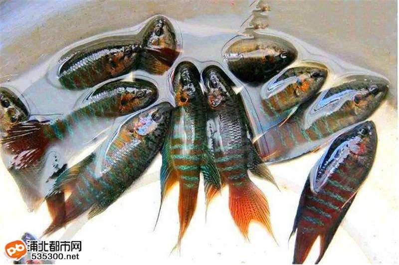 浦北这种鱼你认识吗?过去多得随手就能捞到,现成稀罕物了