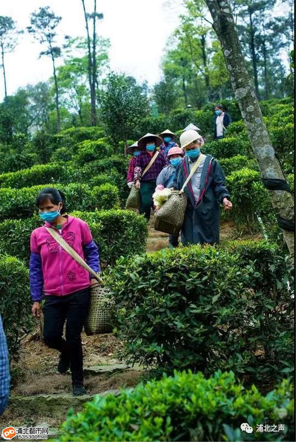 浦北石祖生态茶园复工复产,近百名群众上山摘春茶