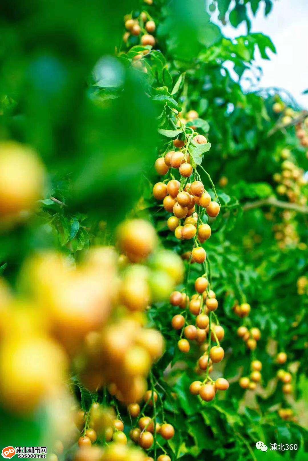 浦北这里的黄皮果熟啦!满村子都是!想摘果的快来了!