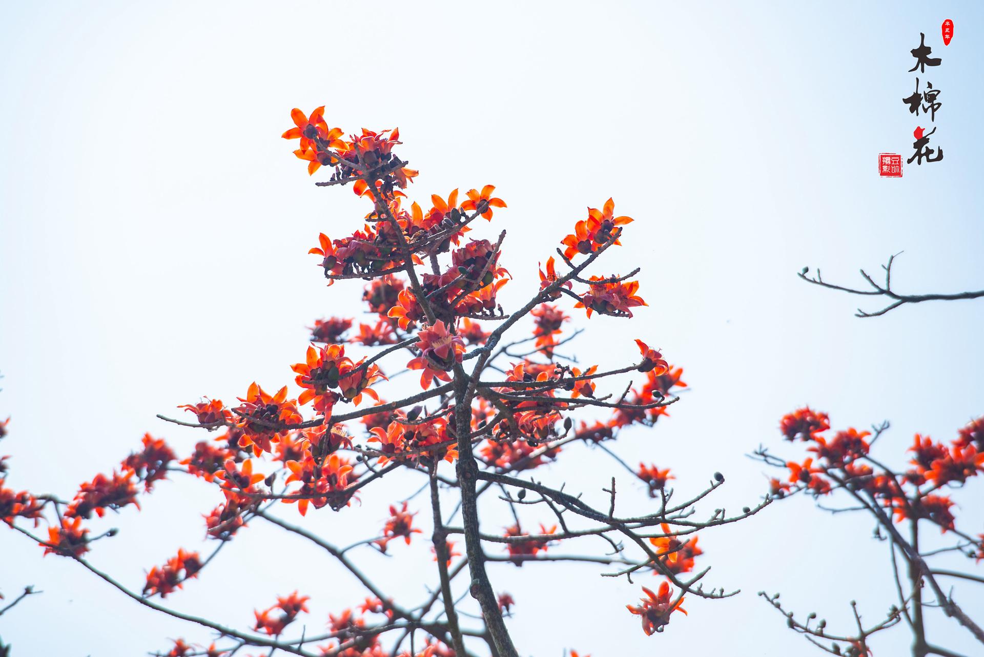 木棉花与鸟的故事07.jpg