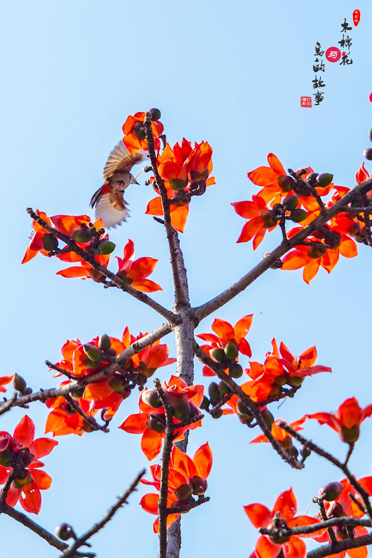 木棉花与鸟的故事22.jpg