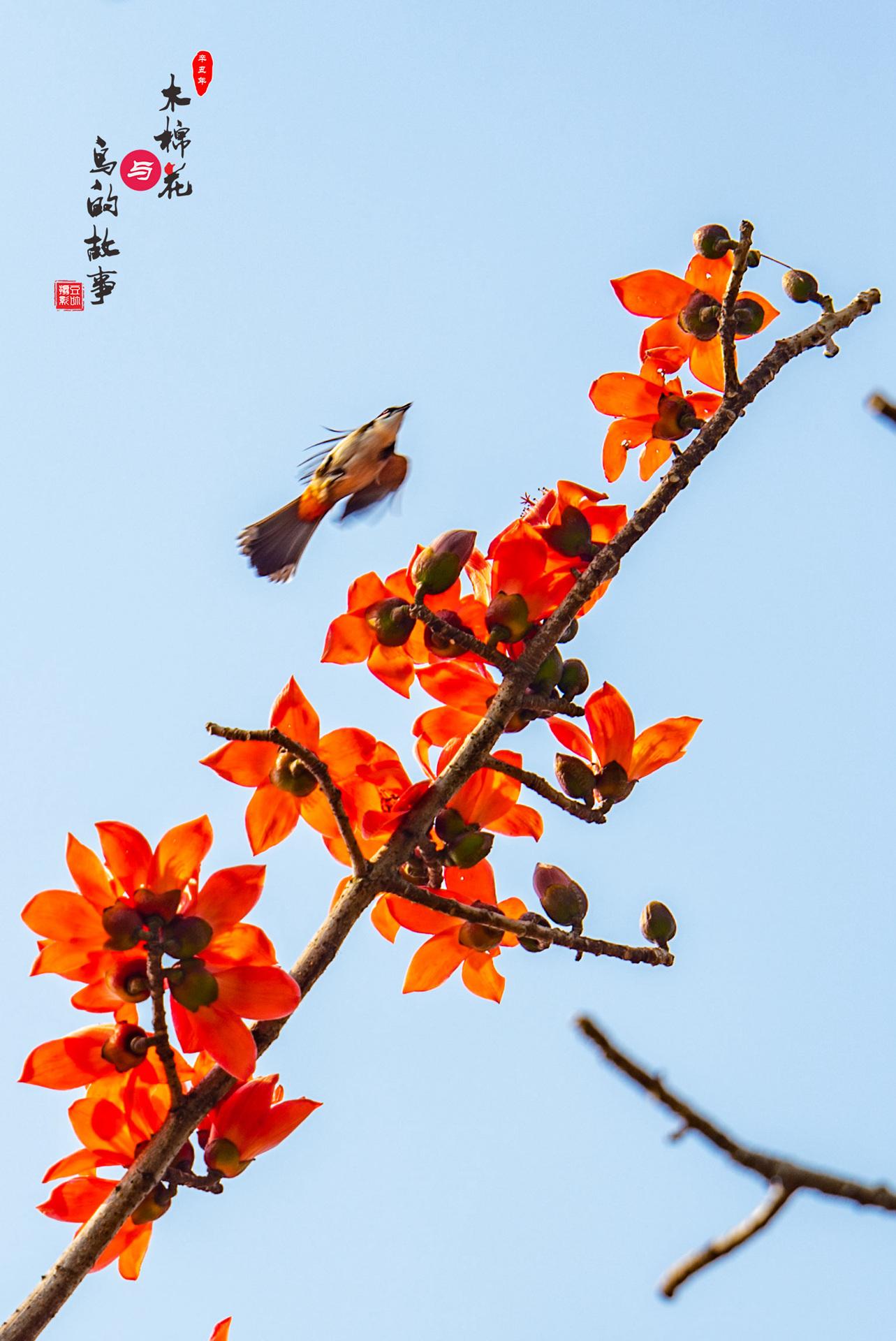 木棉花与鸟的故事27.jpg