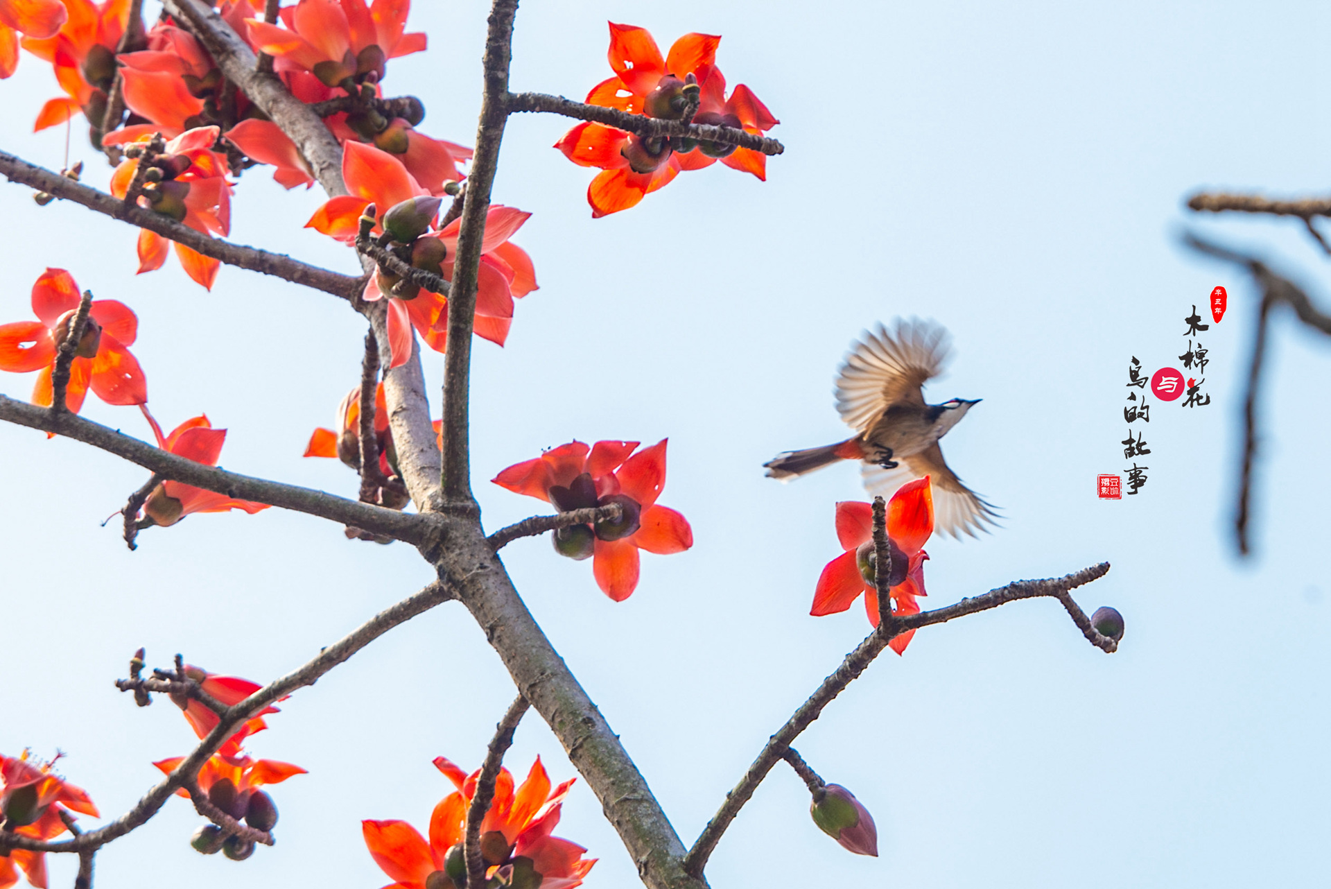 木棉花与鸟的故事30.jpg