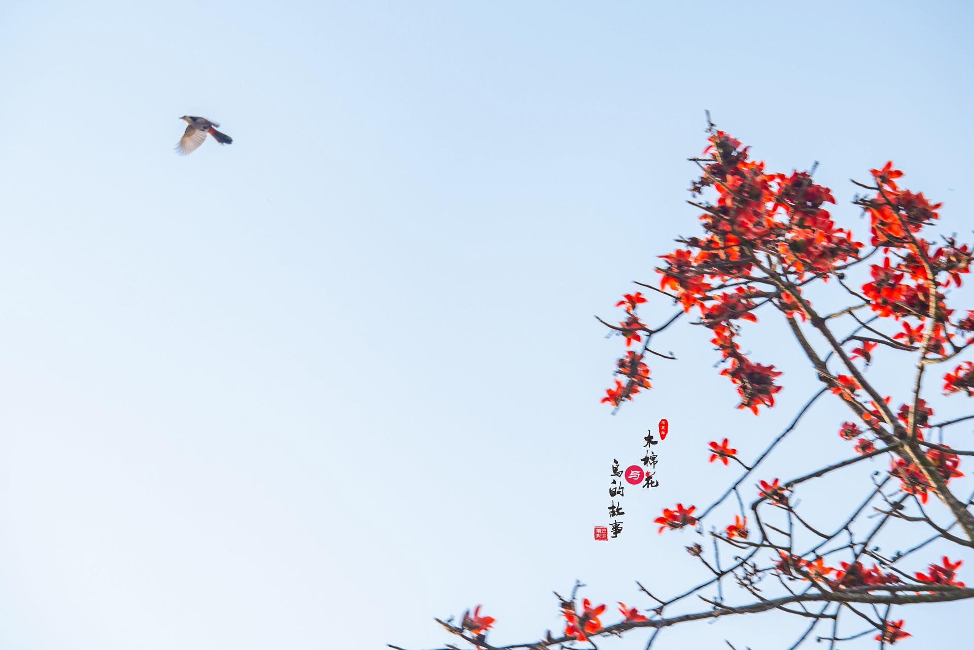 木棉花与鸟的故事34.jpg