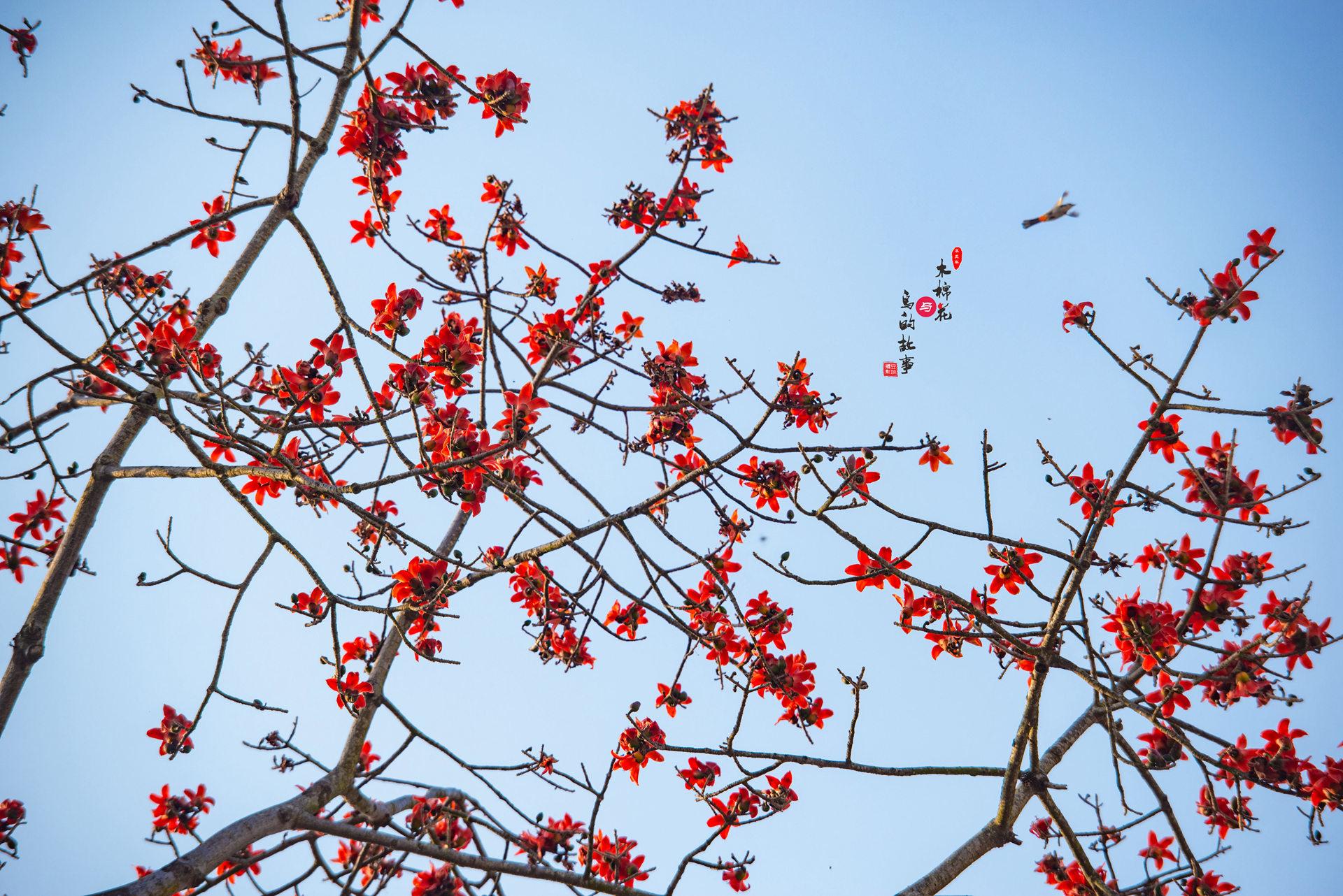 木棉花与鸟的故事37.jpg