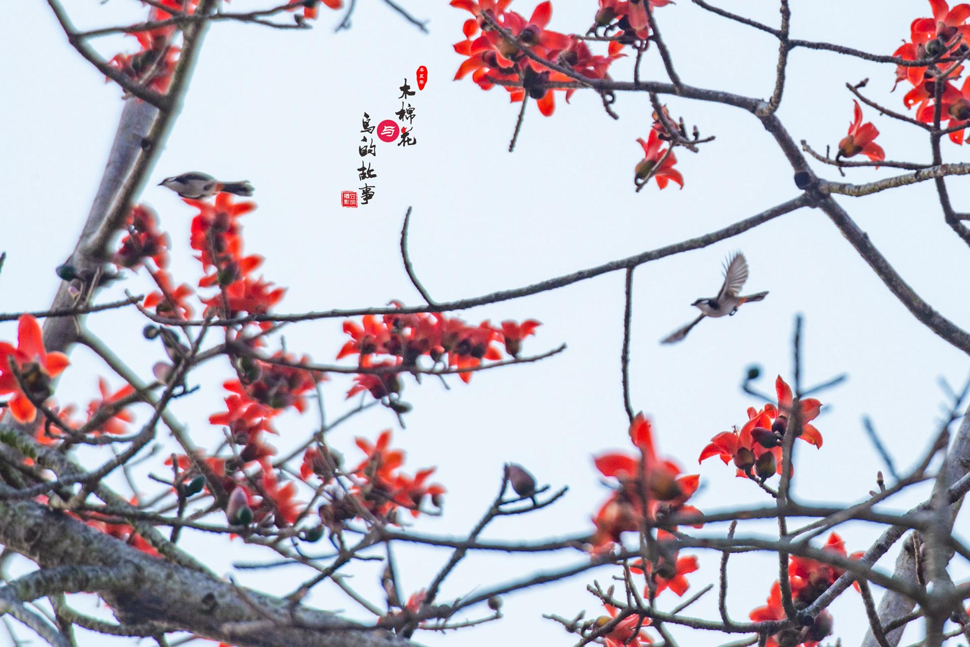 木棉花与鸟的故事38.jpg
