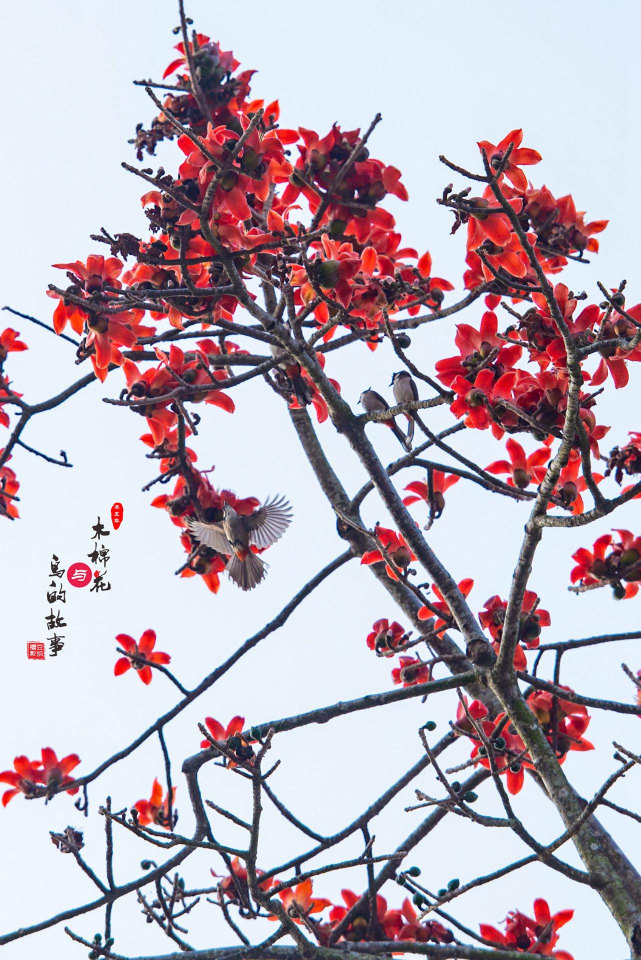 木棉花与鸟的故事39.jpg